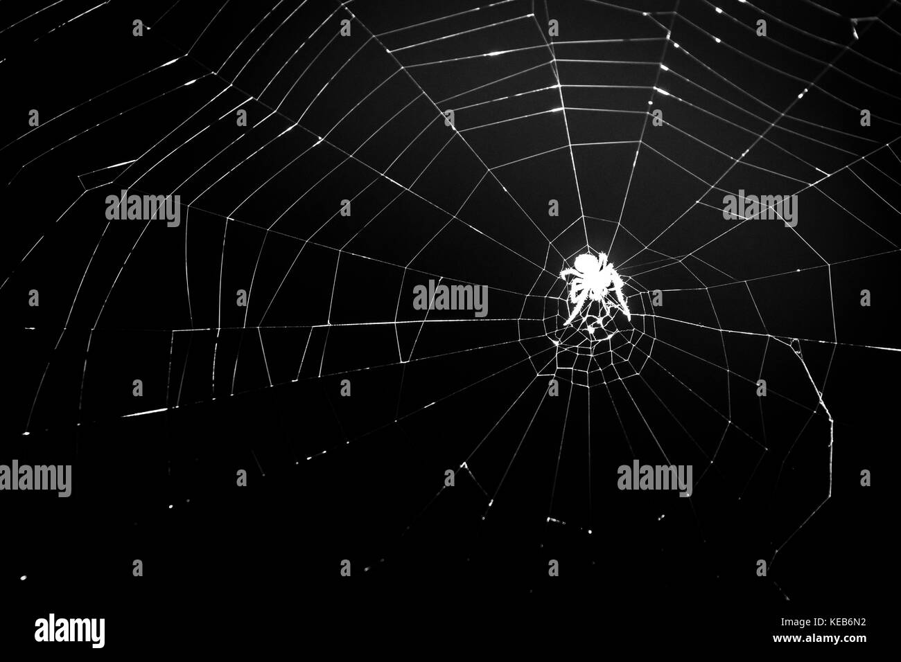 Spider silhouette spins a spider net, at night, closeup, black and white. Scary spider crawls on spider web, Halloween - Stock Image