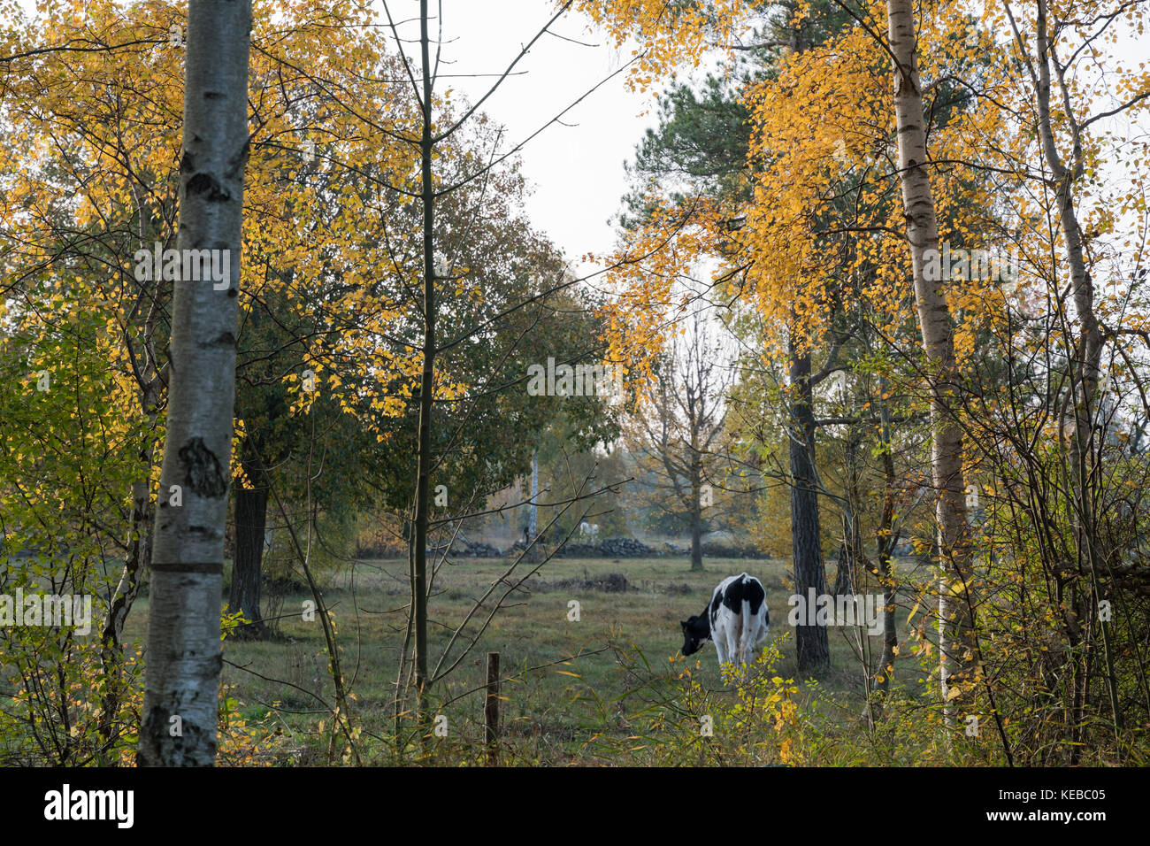 Grazing cow in a fall season colored landscape at the swedish countryside - Stock Image