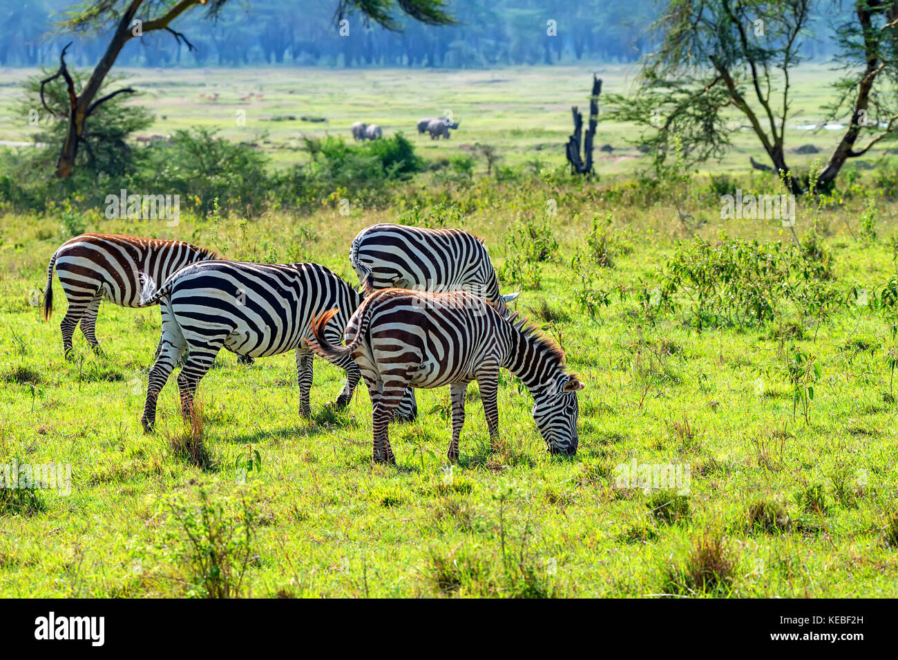Zebras grazing in savanna - Stock Image