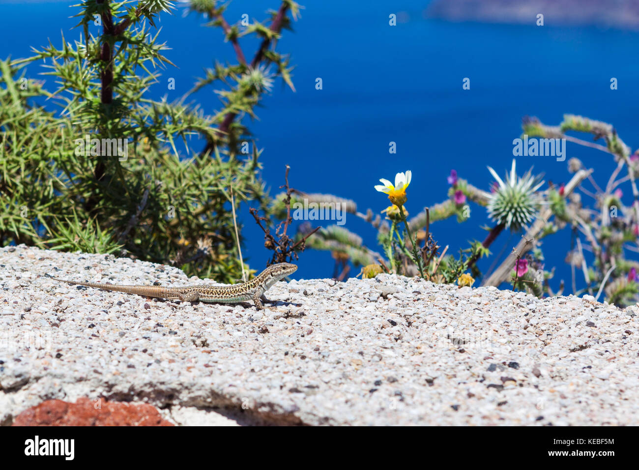 A Gecko in front of cliff top vegetation with a blue sea background - Stock Image