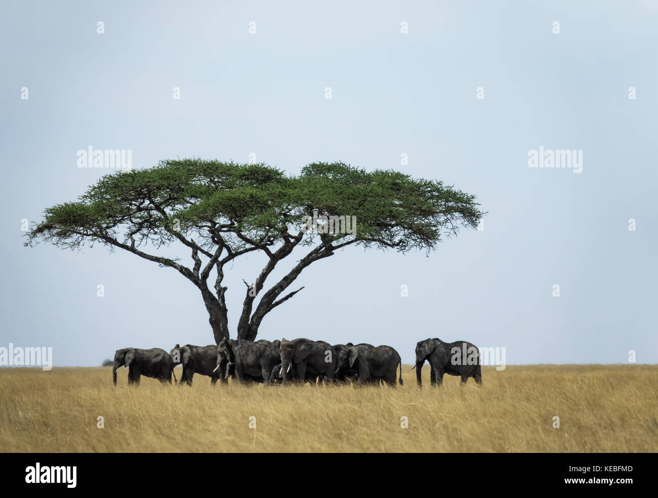 This gathering of elephant clan under an acacia tree occurred in August 2017 during the 'Great Migration', - Stock Image