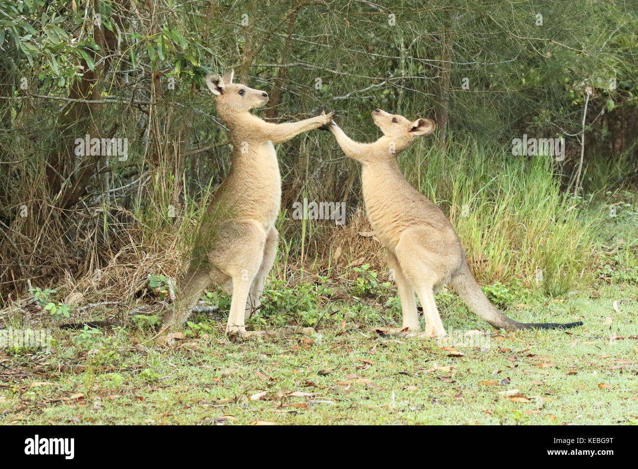 A pair of male Eastern Grey Kangaroos sparring in a gum forest. - Stock Image