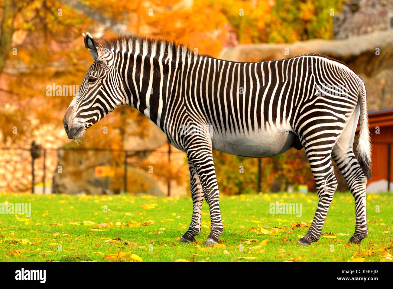 Grevy zebra (Equus grevyi), also known as imperial zebra in Indian summer - Stock Image