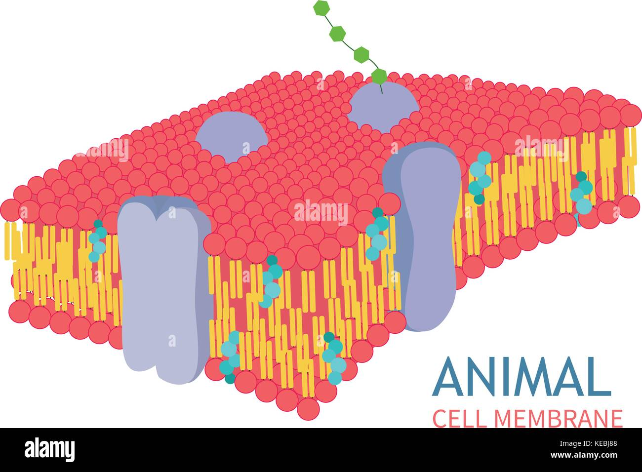 Animal Cell Anatomy structure vector illustration Stock Vector Art ...