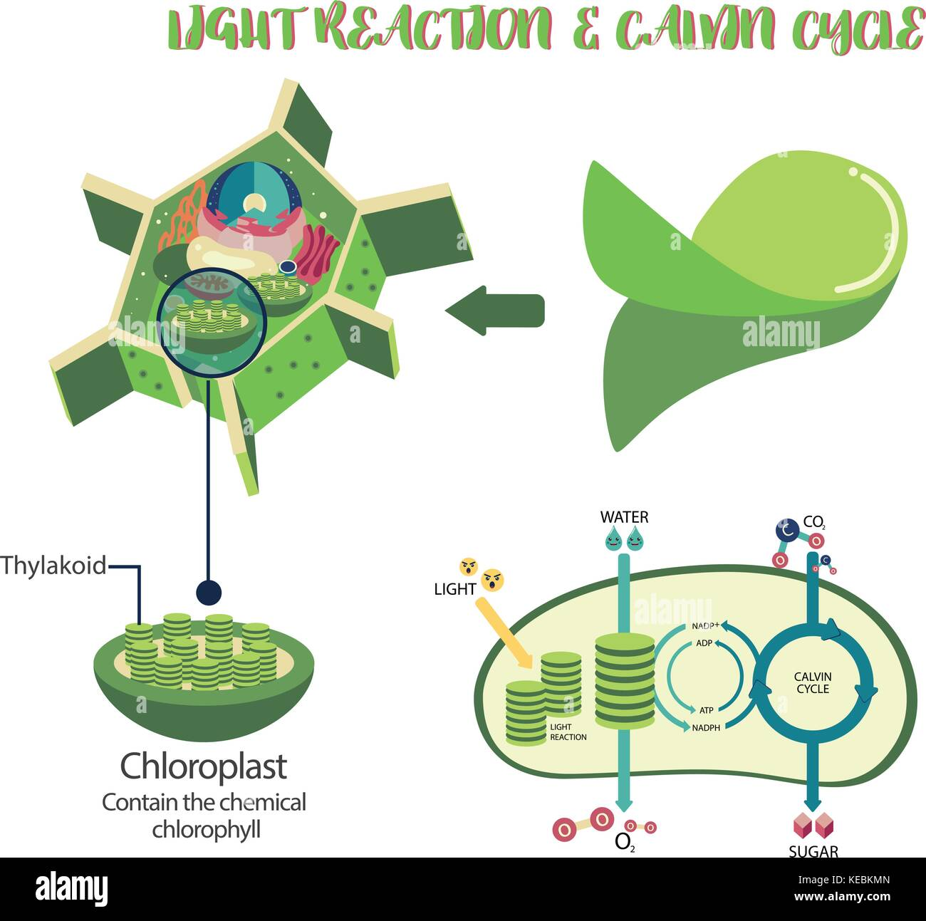 Photosynthesis plant cell diagram illustration vector design stock photosynthesis plant cell diagram illustration vector design ccuart