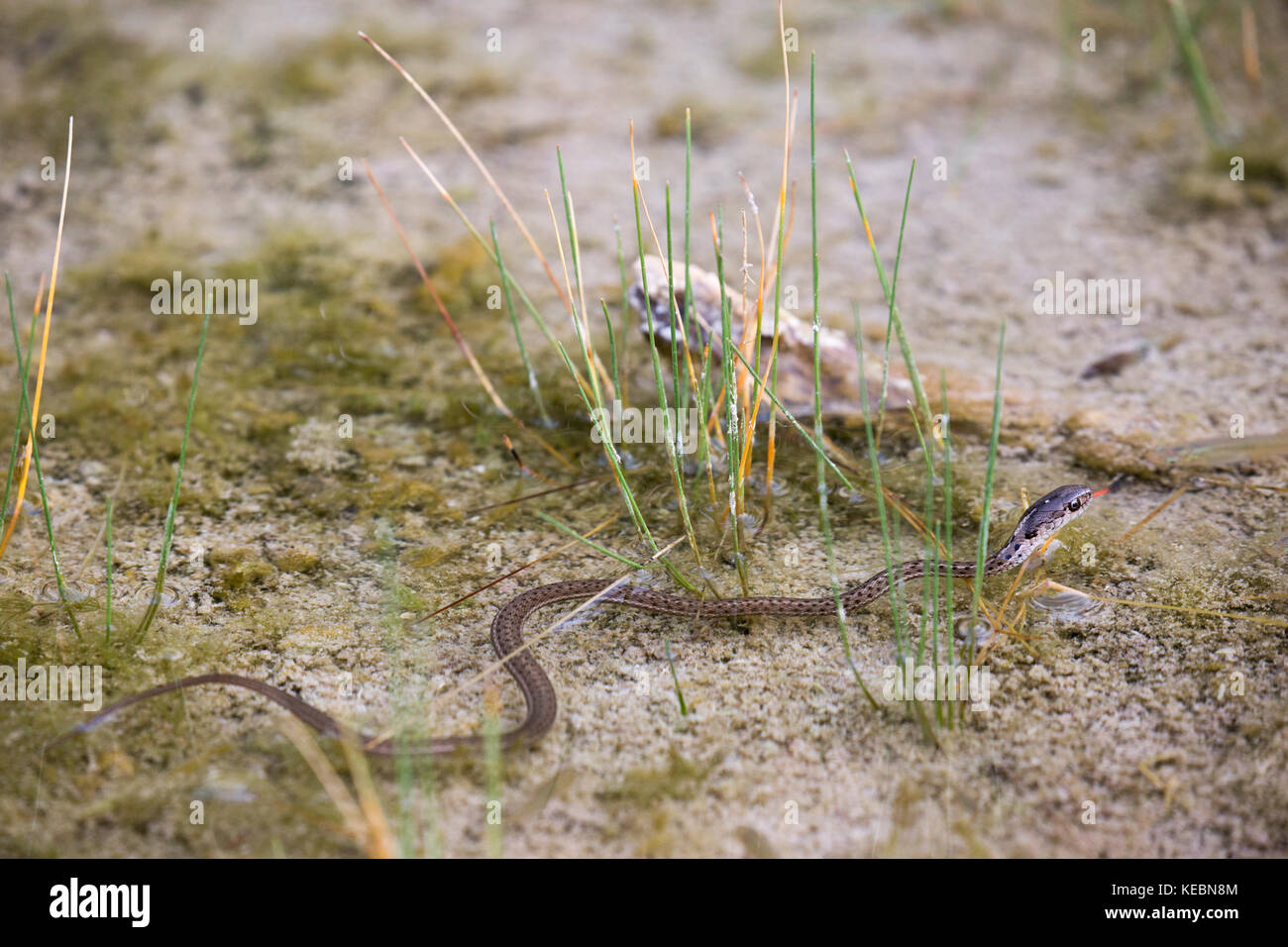 Western Terrestrial Garter Snake (Thamnophis elegans) swimming in hot spring on Sulphur Mountain Stock Photo