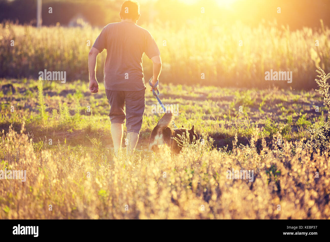 Man with dog on a leash running in an oat field in summer - Stock Image