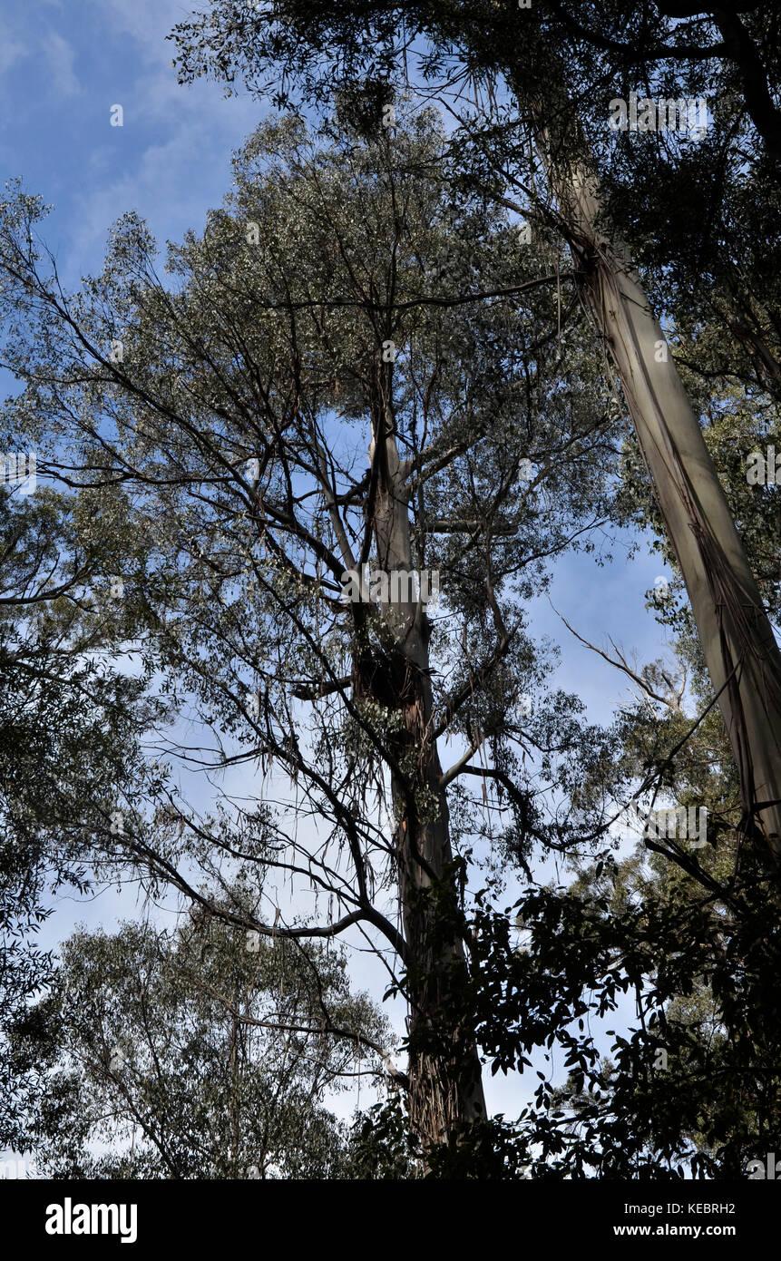Tasmanian Conifers - the tallest flowering trees,Tasmanian Conifers at Mount, Tasmania, Australia - Stock Image