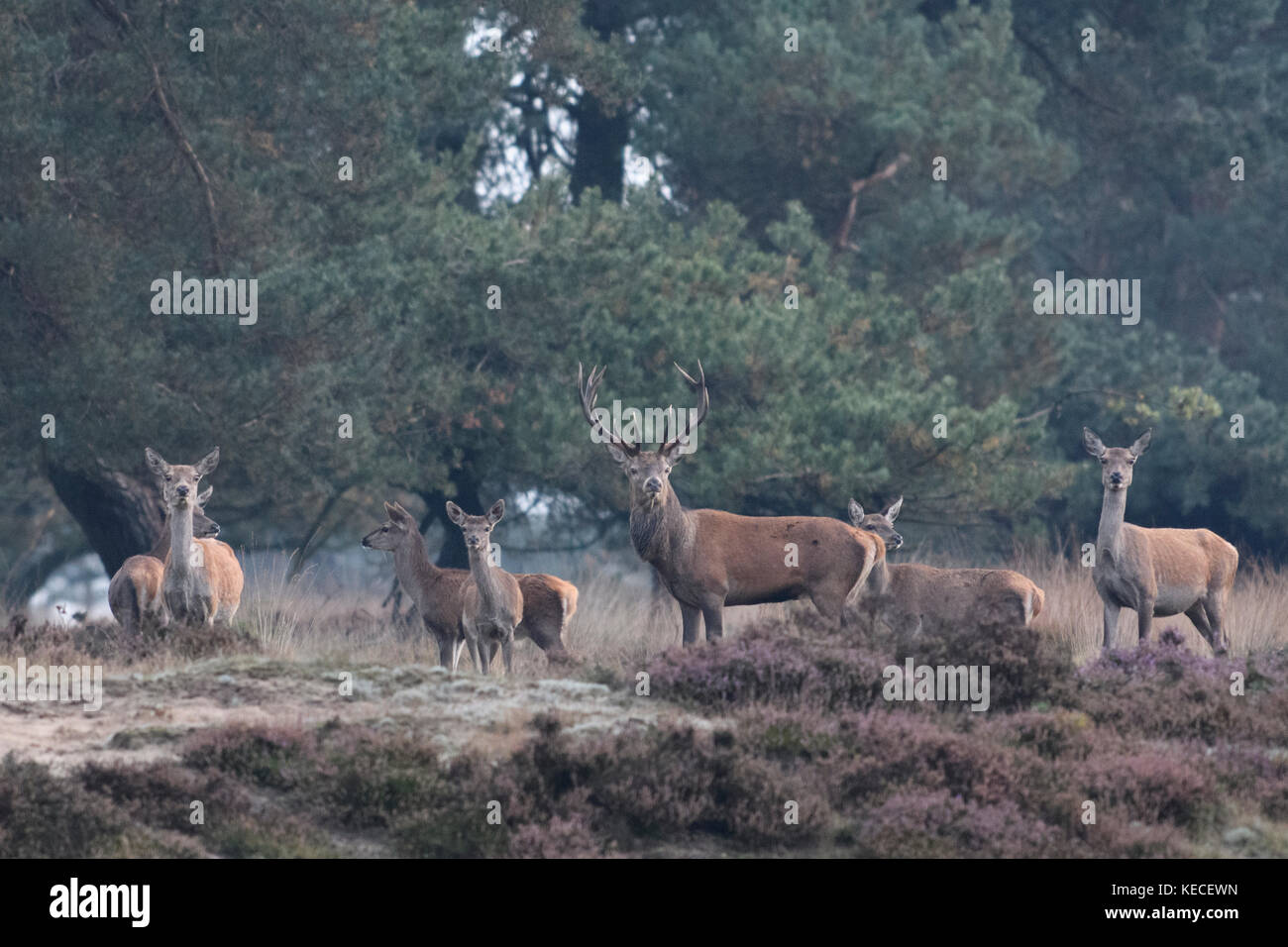 Group of red deer during rutting season in Pine forest with heather, Veluwe, Netherlands, October 9 2017 - Stock Image