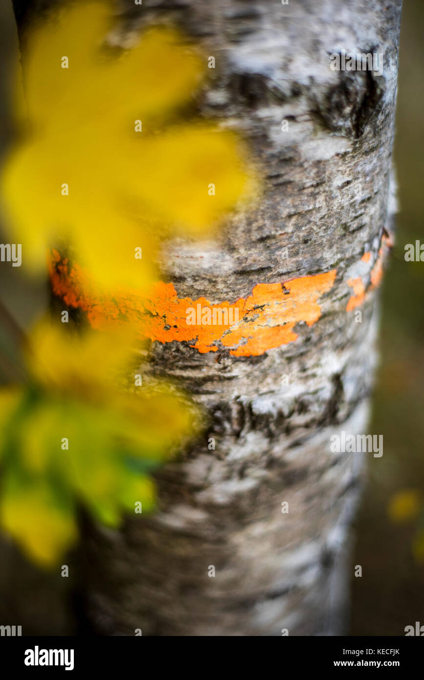 Golden autumnal leaves next to a tree trunk with forestry markings, Woodland Landscape, Oxford, UK - Stock Image