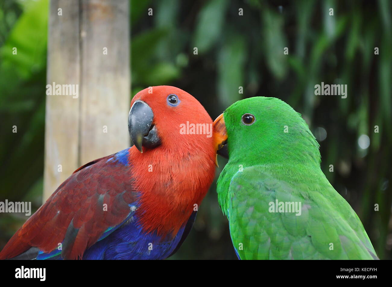 colorful parrot preening together in garden - Stock Image