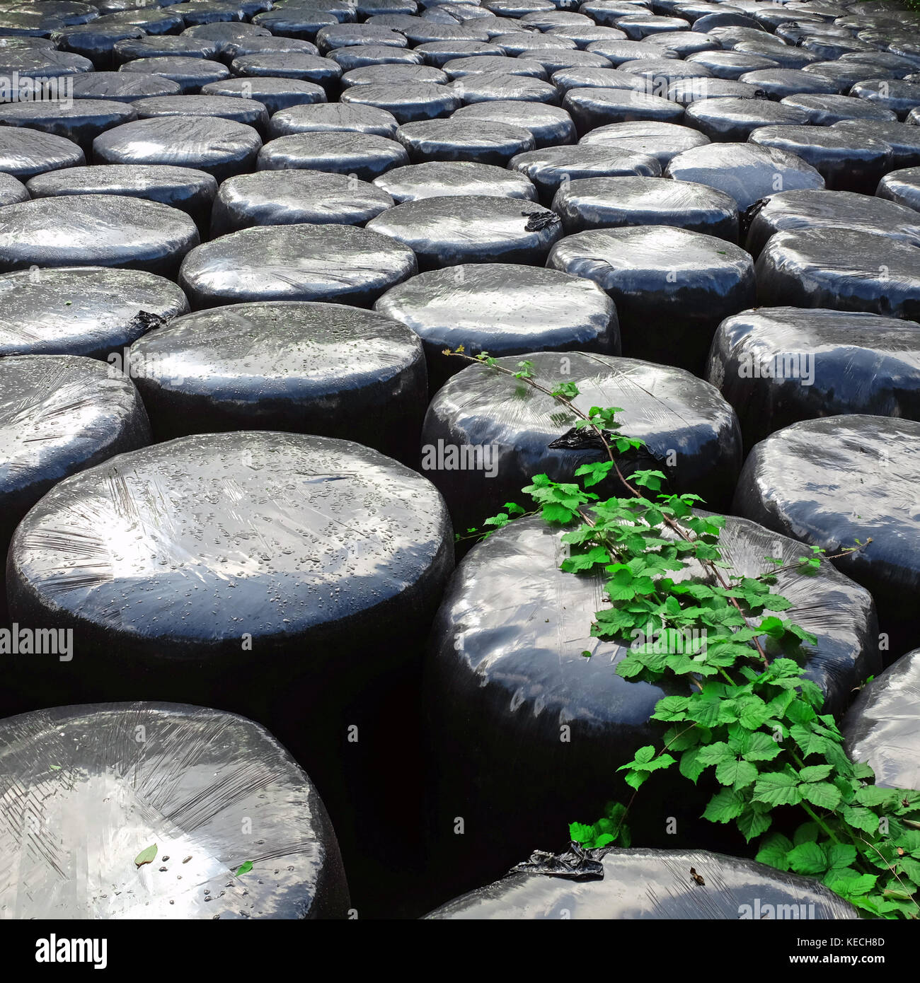 Plastic silage bales, Bentra Road, Whitehead, Northern Ireland. - Stock Image