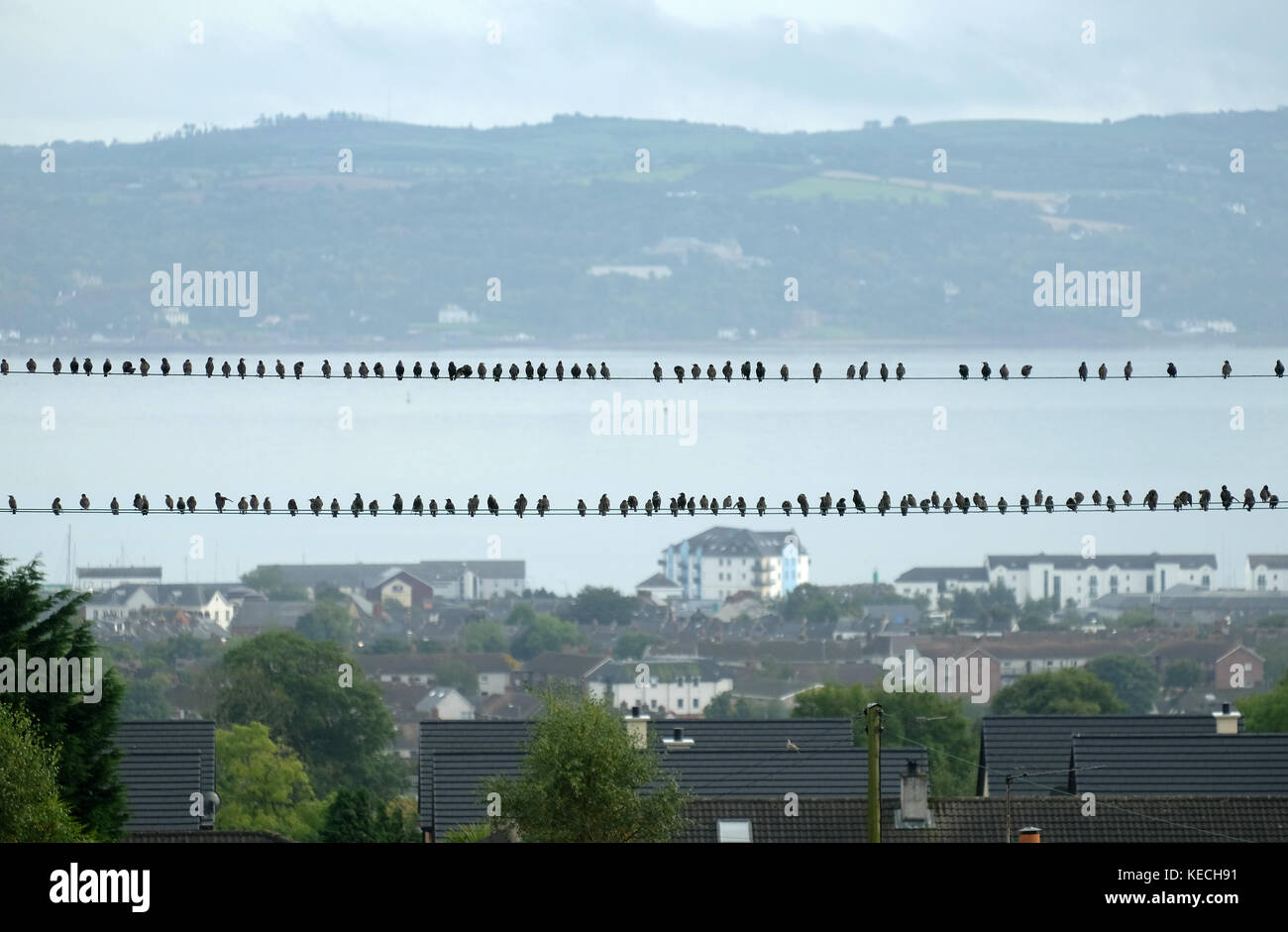 Flock of starlings on telegraph wires, Carrickfergus, Northern Ireland. - Stock Image