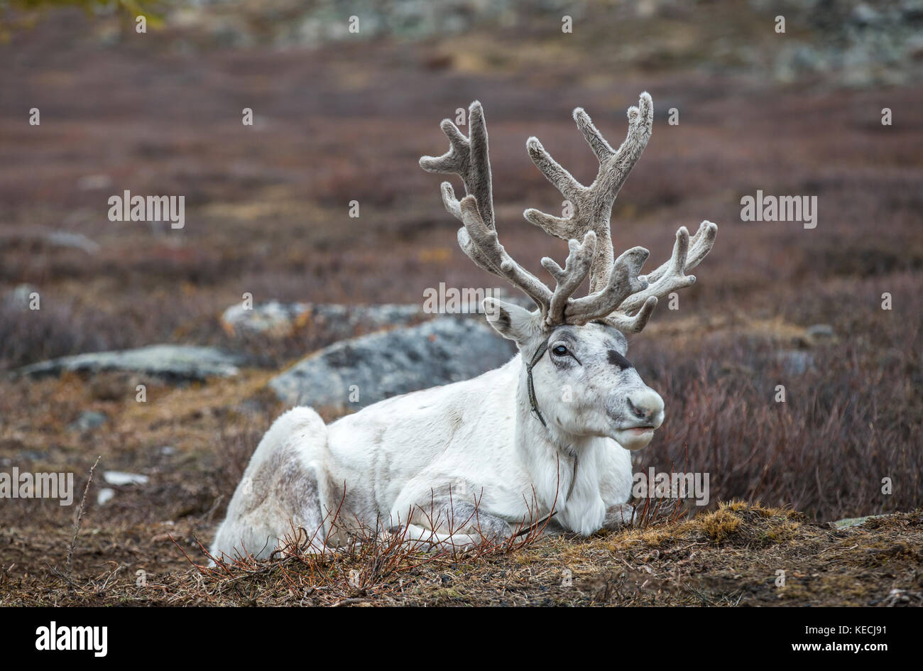 reindeer in a landscape of northern Mongolia - Stock Image
