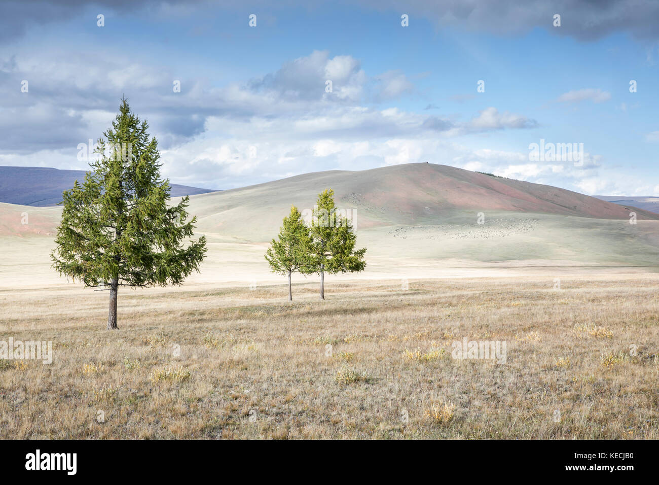 trees in a northern Mongolian landscape - Stock Image