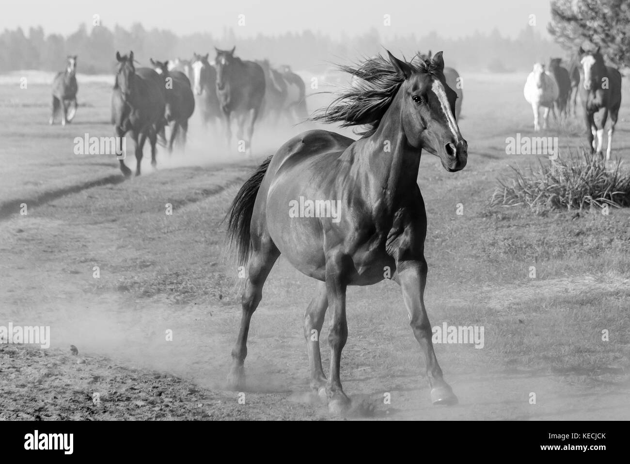An unbridled American horse runs ahead of the herd in the American west, mane flying behind it, black and white - Stock Image