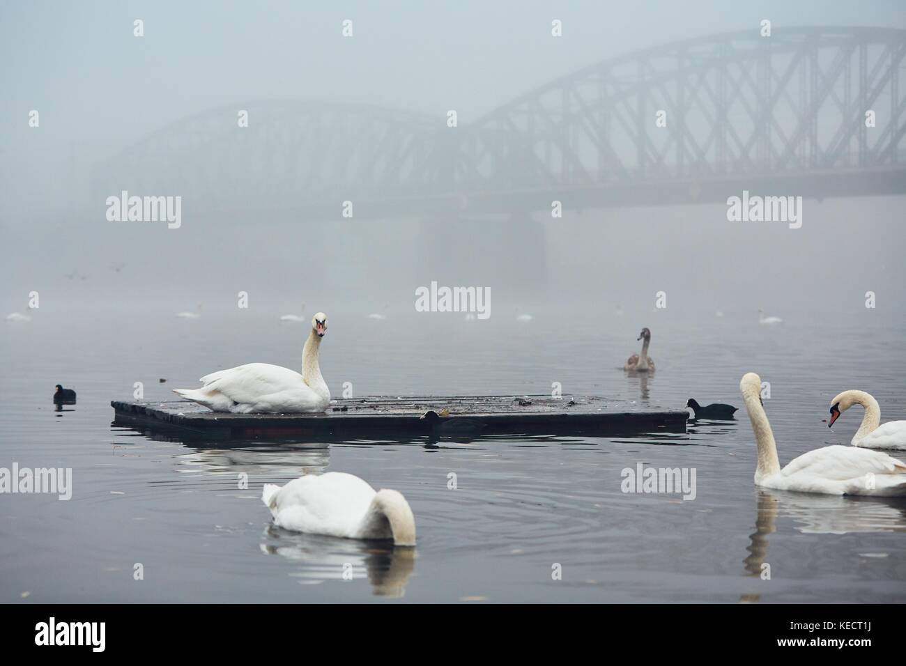 Swan on the river against old iron bridge in mysterious fog. Autumn morning in the city. Prague, Czech Republic - Stock Image