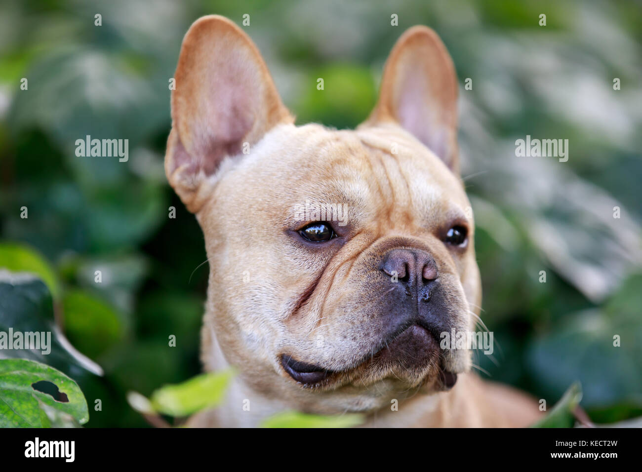 French Bulldog Head with Ivy background. - Stock Image