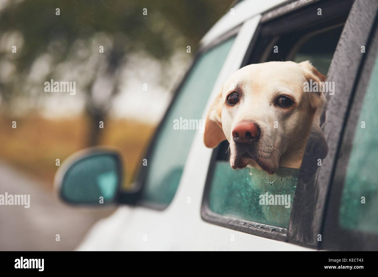 Dog (labrador retriever) looking out of a car window on a rainy day. - Stock Image