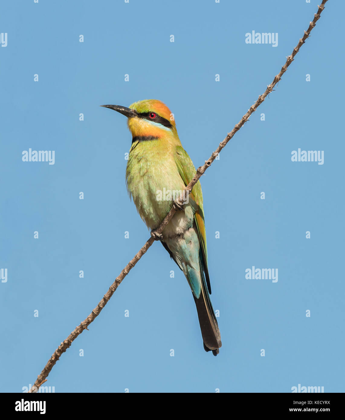 Rainbow Bee-Eater (Merops ornatus) looking for insects popular bird and is found in most parts of Australia. - Stock Image