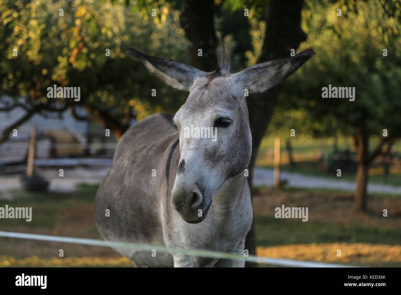 Gray donkeys in the open air - Stock Image