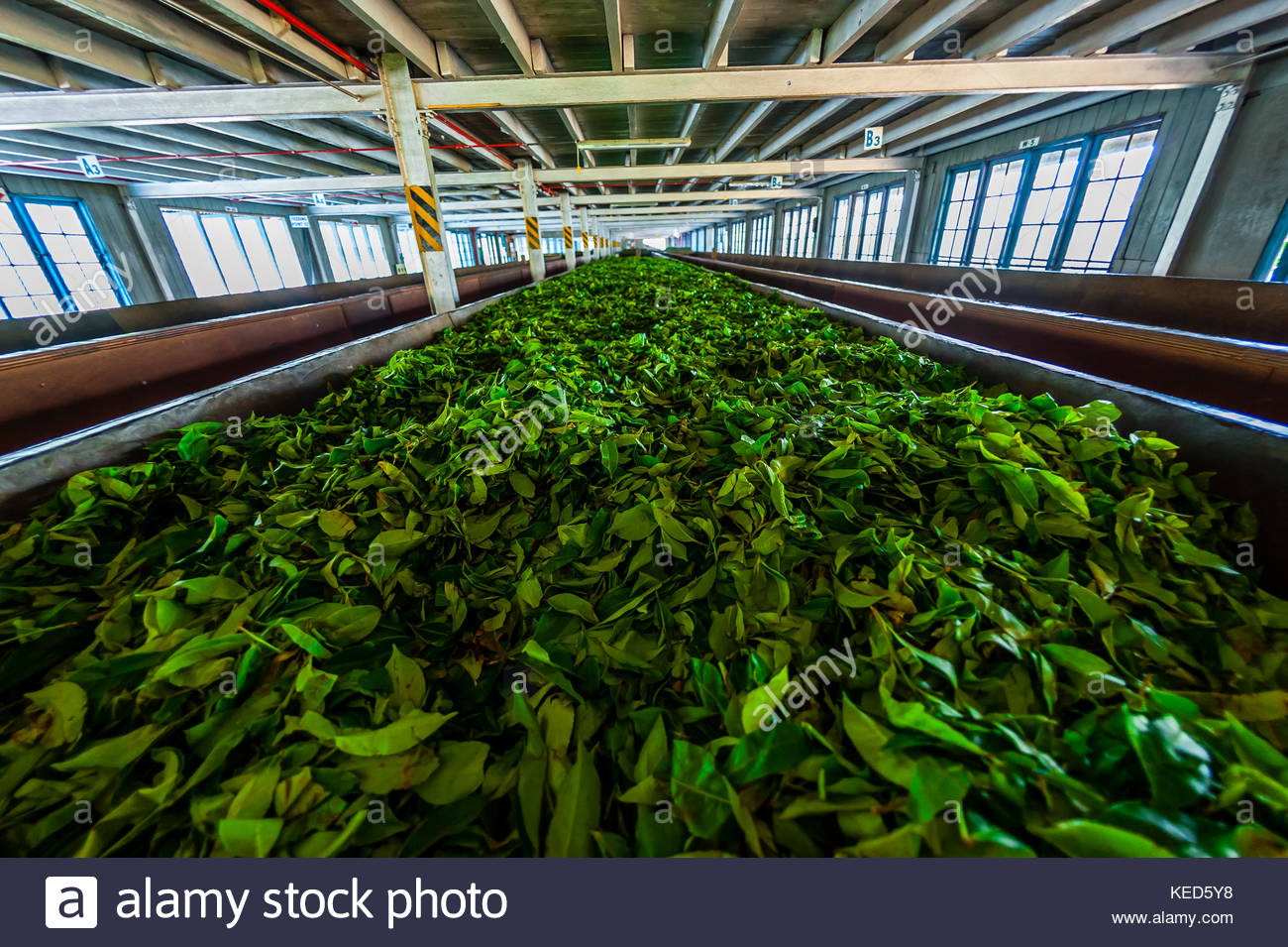 Tea leaves pass down a conveyor belt for sorting, Blue Field Tea Factory, Ramboda, near Nuwara Eliya, Central Province, - Stock Image