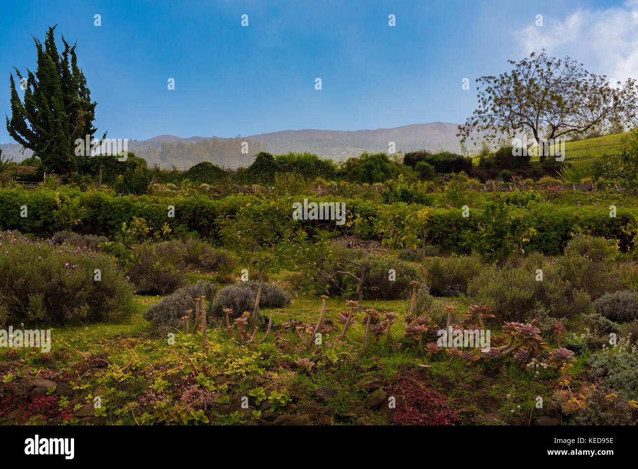 Eerie colorful plants growing in Maui Hawaii that seem ancient and almost mystical. Mountains are in the background. - Stock Image