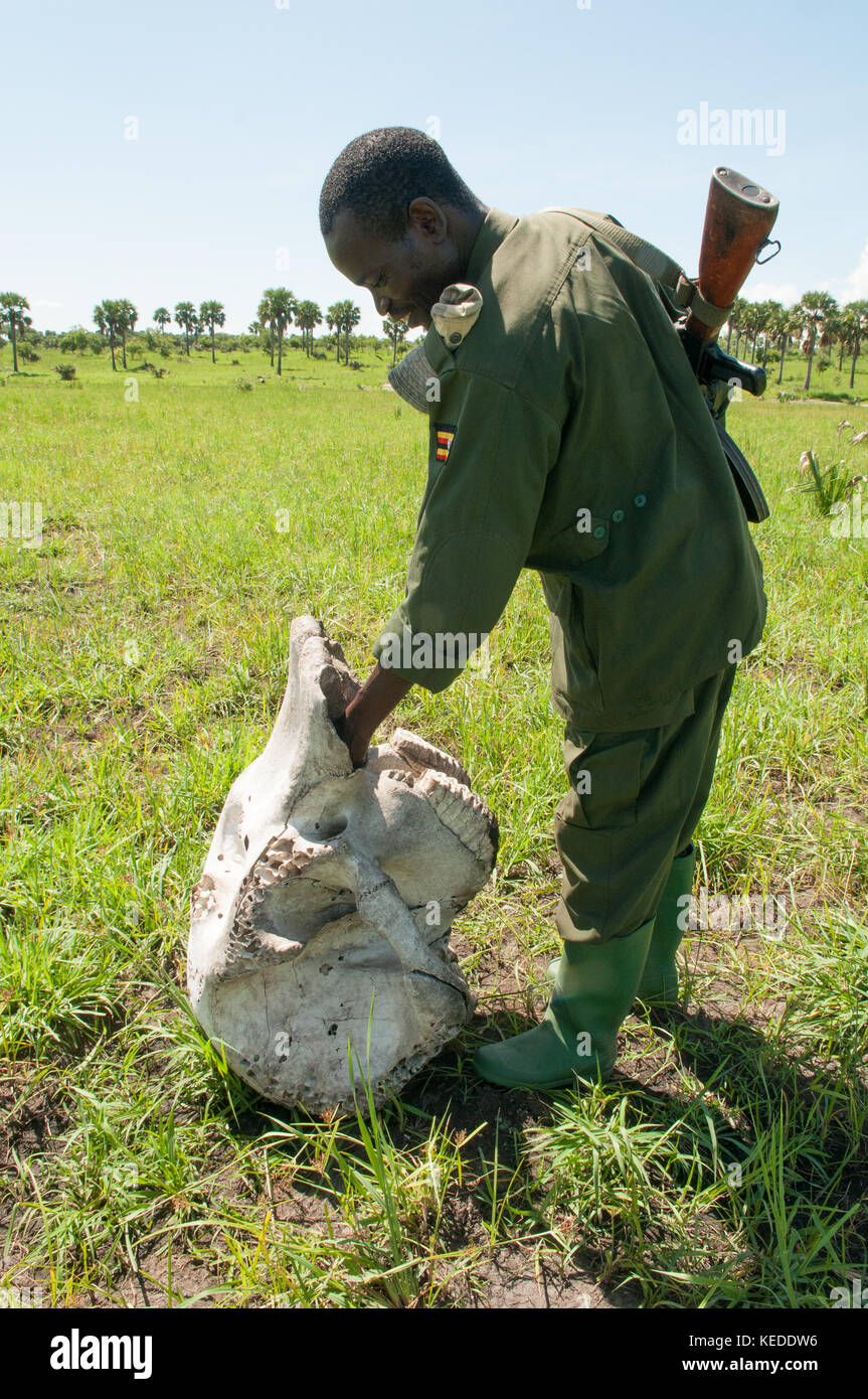 Skull of illegally killed elephant being inspected by Ugandan Parks guard. Tusks missing. - Stock Image
