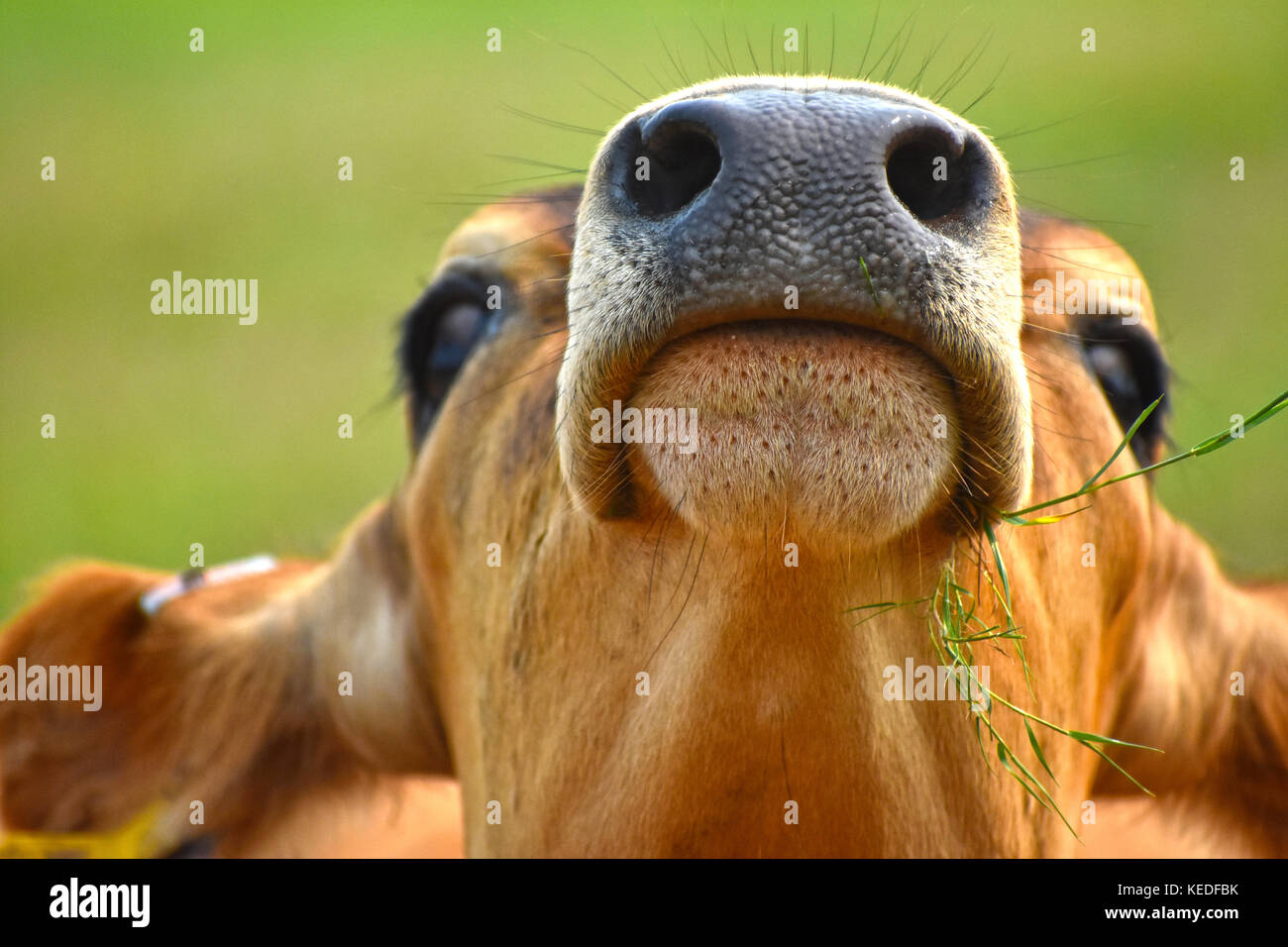 Cows head tilted upward showing the details on the nose including the nostrils, mouth, whiskers and some grass. - Stock Image