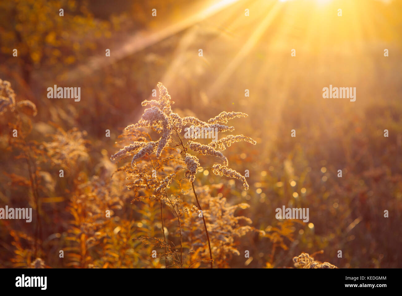 Dry goldenrods in  the evening sun in autumn - Stock Image