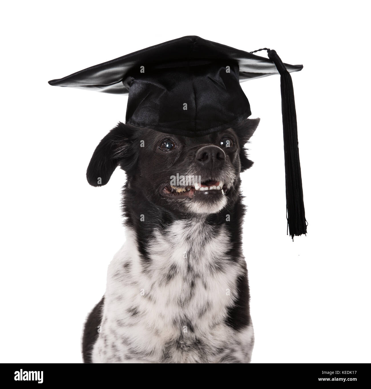 Graduated Dog Wearing Mortar Board Over White Background - Stock Image