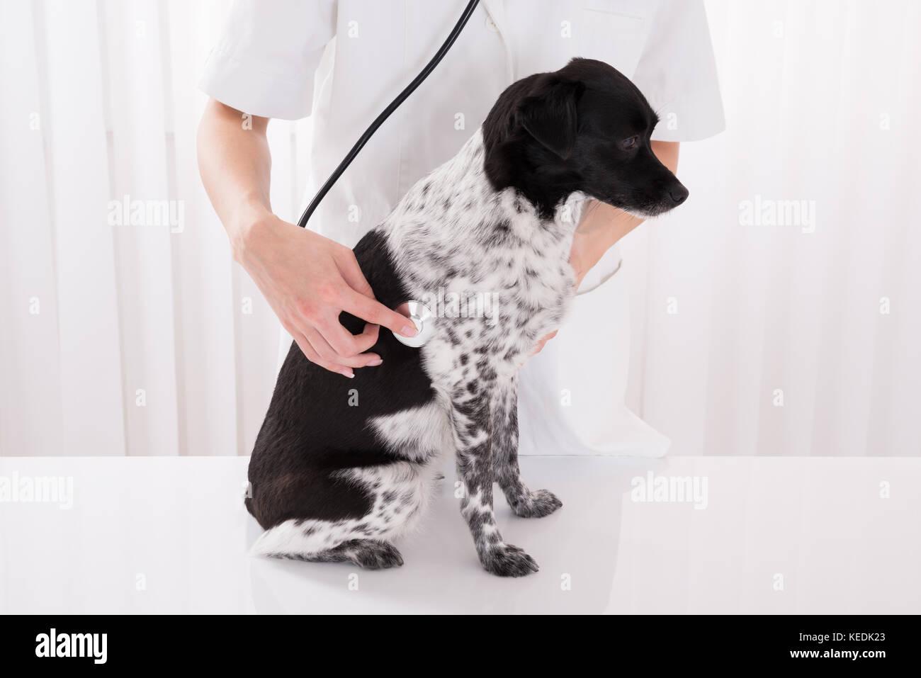 Close-up Of Vet Examining Dog With Stethoscope In Hospital - Stock Image