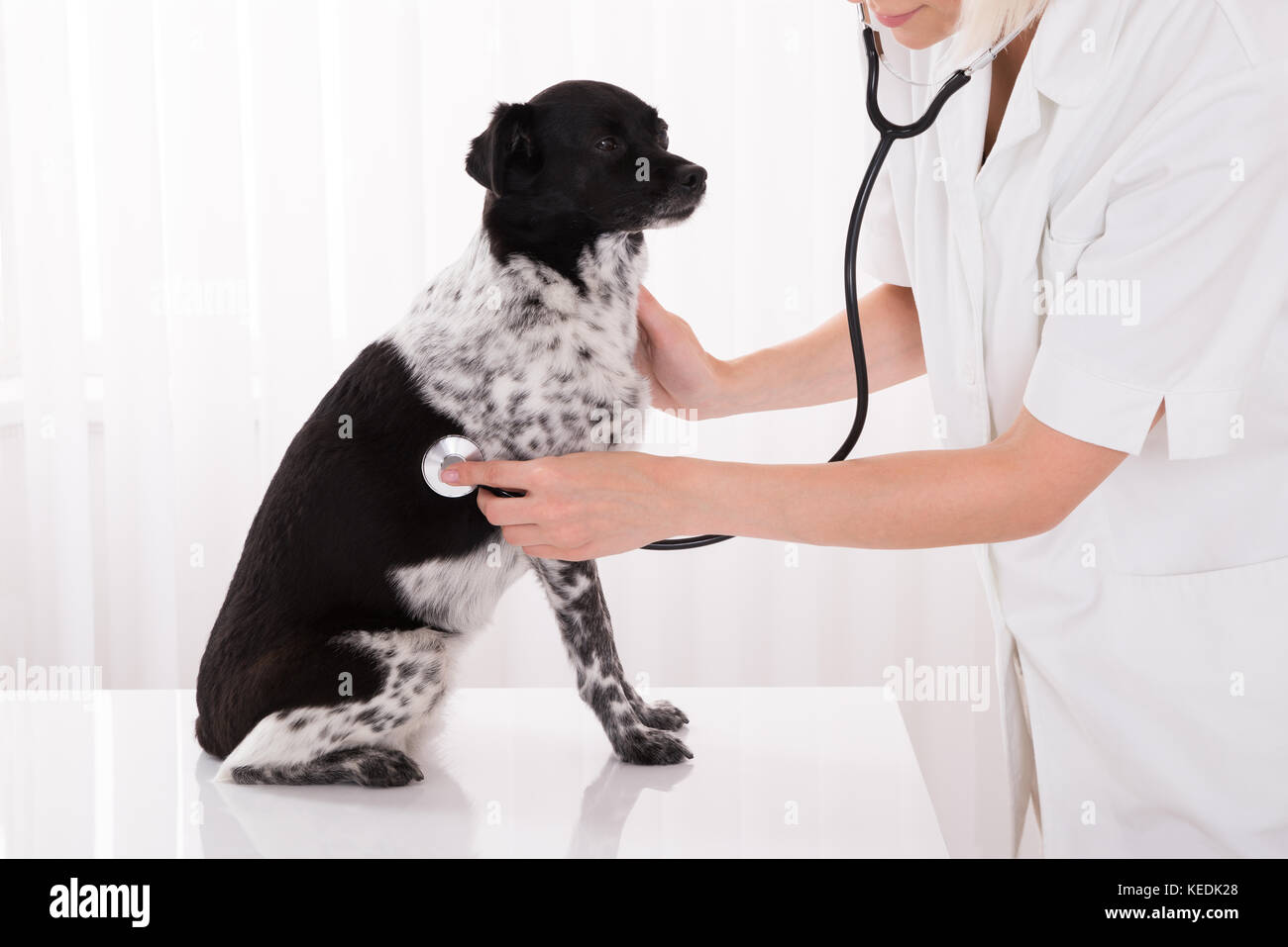 Close-up Of Vet Examining Dog With Stethoscope In Hospital - Stock Image