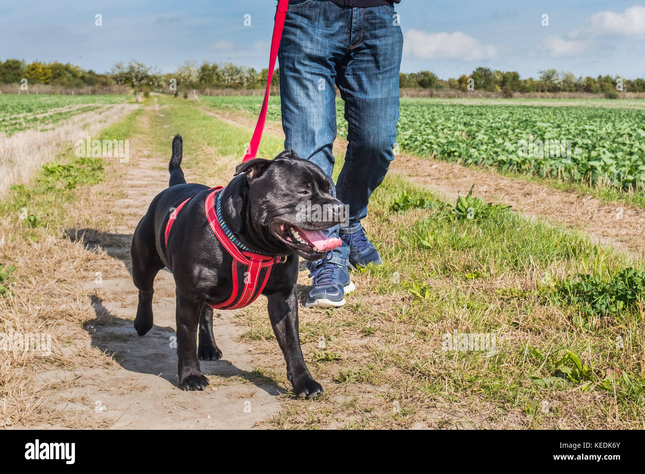 man with jeans and trainers walking a staffordshire bull terrier dog on a leash, a red lead with a red harness. - Stock Image