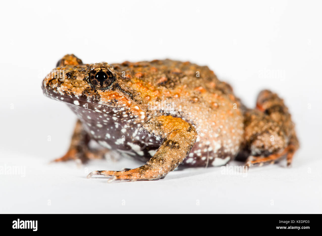 Tusked Frog (Adelotus brevis). Adult female in studio (captive). Hopkins Creek. New South Wales. Australia. - Stock Image