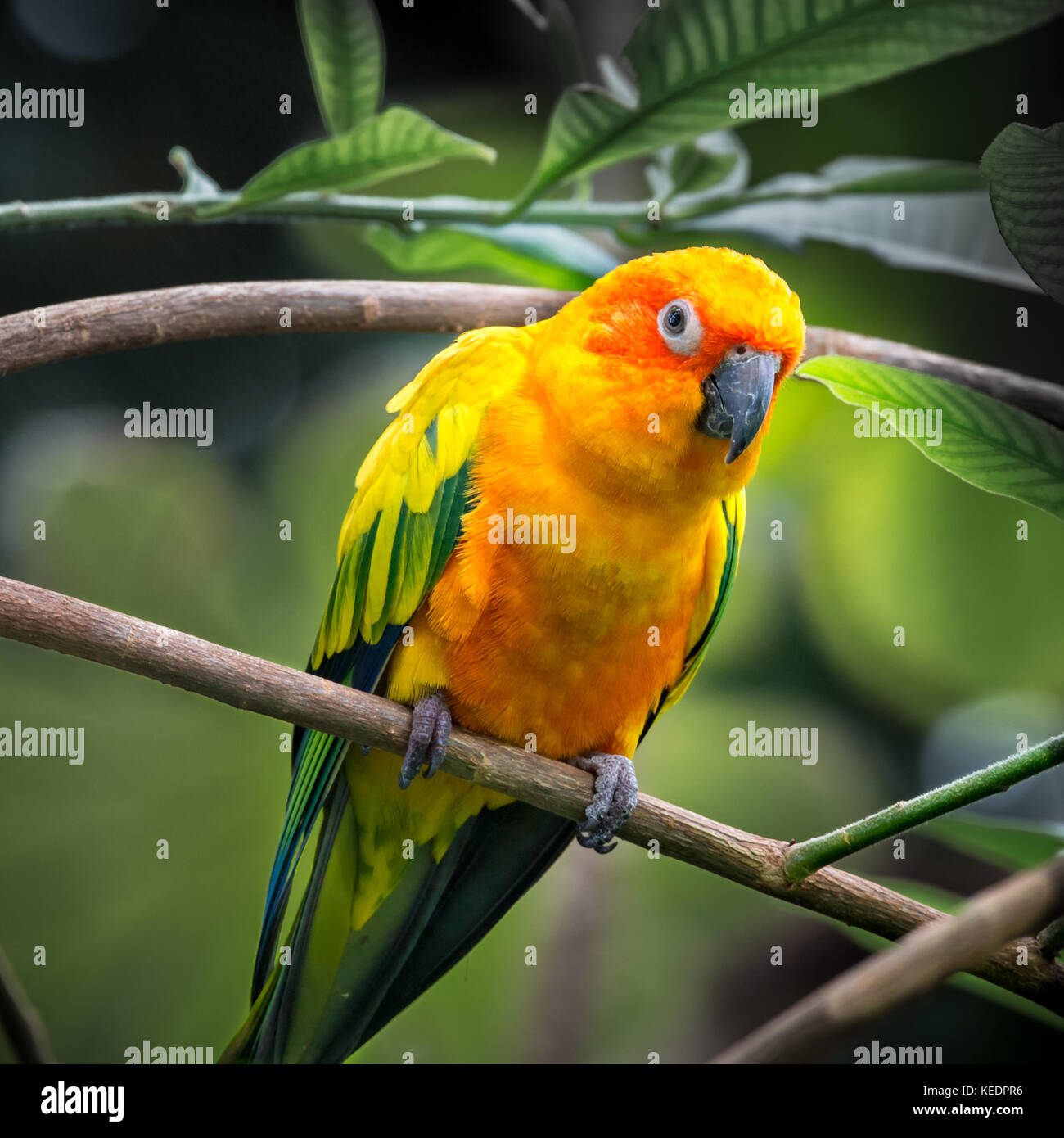Sun Conure parrot (Aratinga solstitialis) perched on a branch in a tropical forest - Stock Image