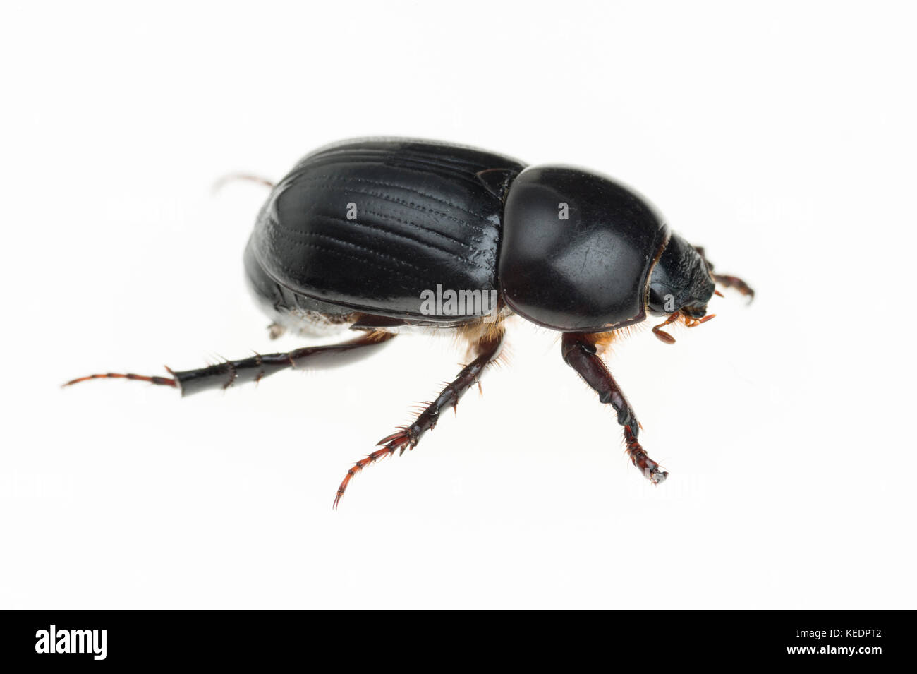 African black beetle (Heteronychus arator) is an introduced pest from southern Africa which attacks turf, vegetables, - Stock Image
