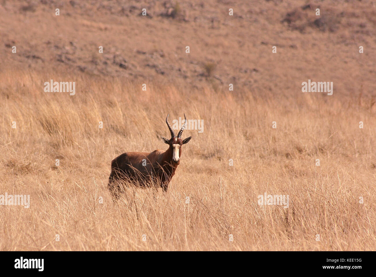 Blesbok Antelope standing in grassland in Gauteng Province, South Africa - Stock Image