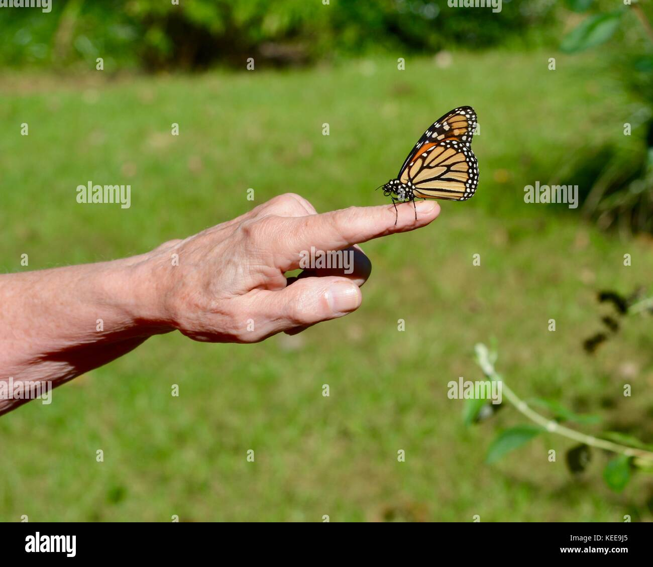 5cefb7057 Monarch butterfly on a finger Stock Photo: 163813389 - Alamy
