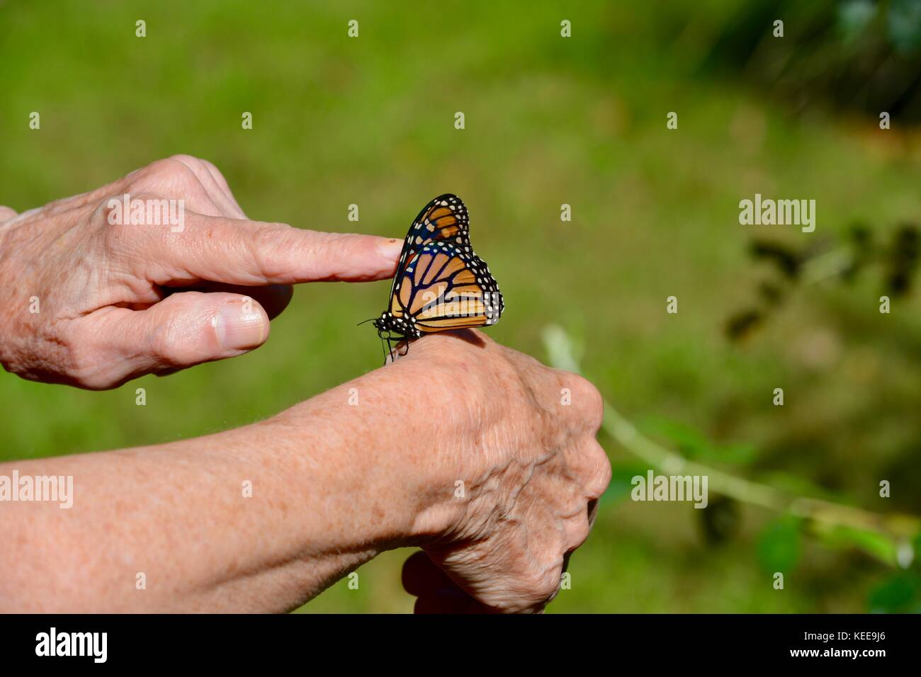 f41718a13 Monarch butterfly on a finger Stock Photo: 163813390 - Alamy