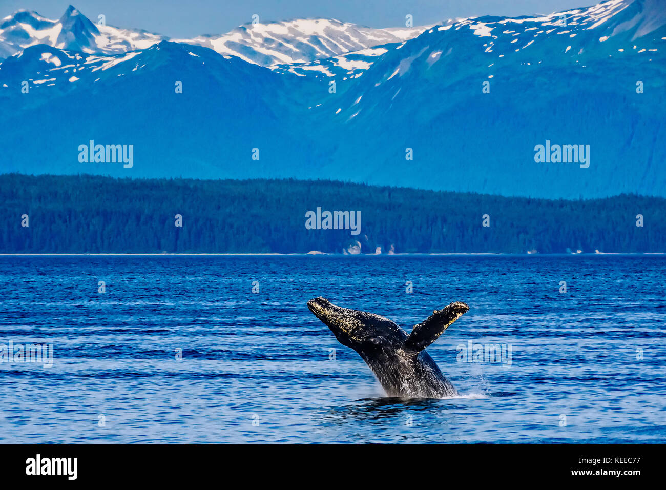 Humpback whale breaching off the coast of Alaska - Stock Image