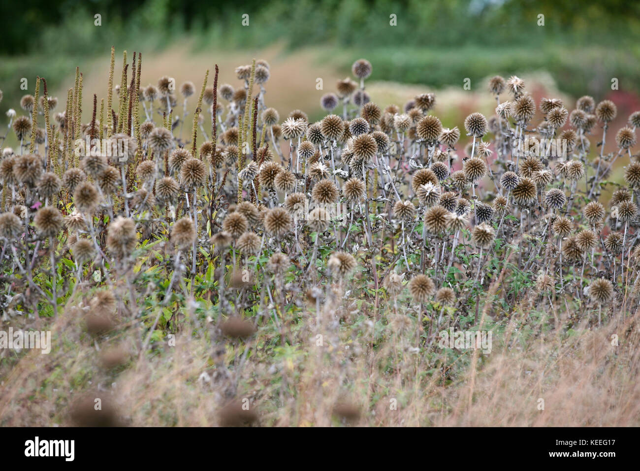 Echinops ritro seed heads in grasses, autumn interest in the garden - Stock Image
