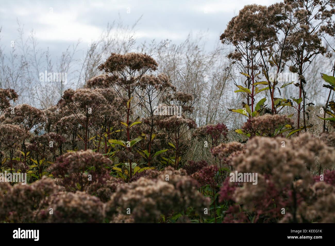 Eupatorium purpureum in autumn, flowers fading colour and foliage taking on autumnal tones - Stock Image