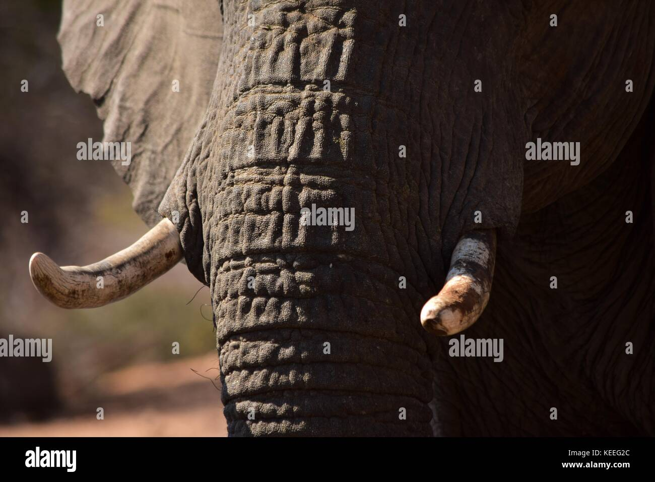 A detail photo of an African Elephant's tusks, poaching targets. Also visible the wrinkled grey skin of the - Stock Image