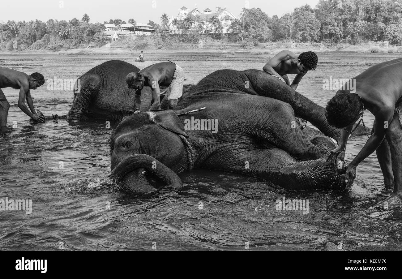 Trainers bathe young elephants at dawn in the river Periyar on January 11, 2012 near Ernakulam, Kerala, India. Stock Photo