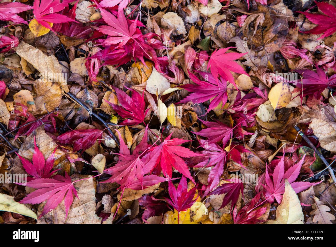 Savill Garden, Englefield Green, UK. 20th Oct, 2017. The deep red autumn leaves of an Acer Sieboldiana Momiji Gasa Stock Photo