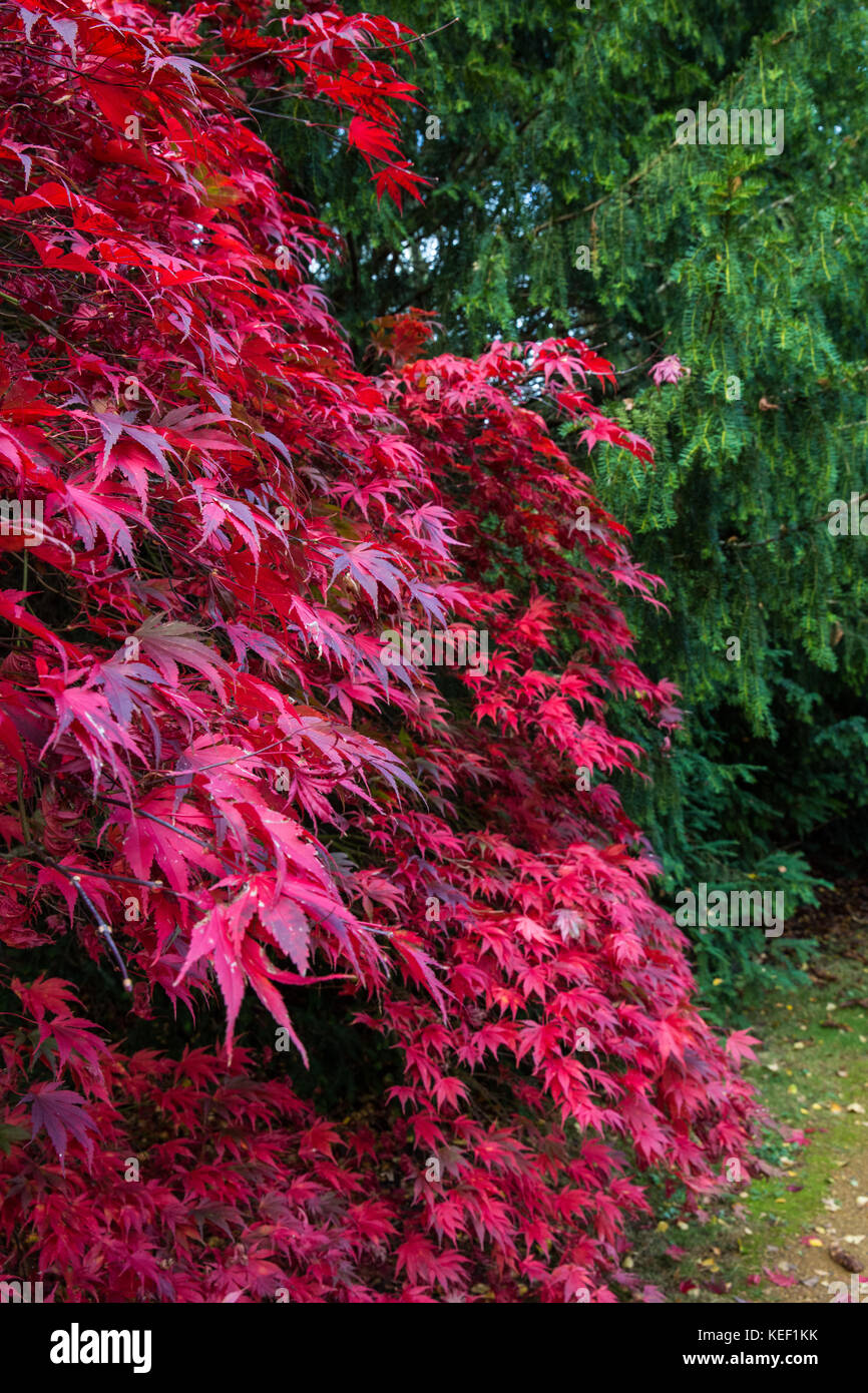Savill Garden, Englefield Green, UK. 20th Oct, 2017. A display of magnificent red autumn leaves on an Acer Sieboldiana - Stock Image