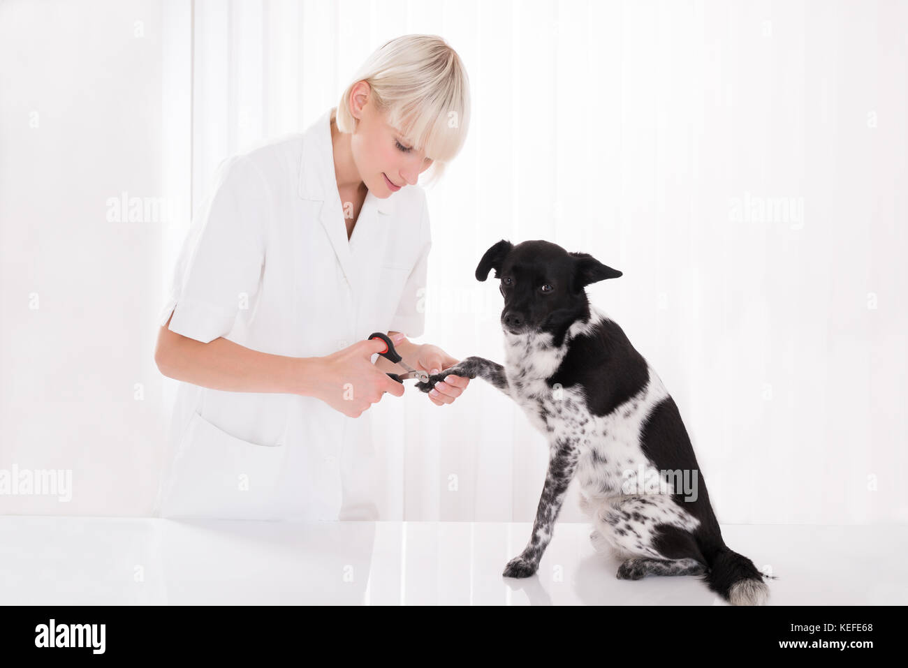 Young Female Vet Trimming Dog's Toenail In Clinic - Stock Image