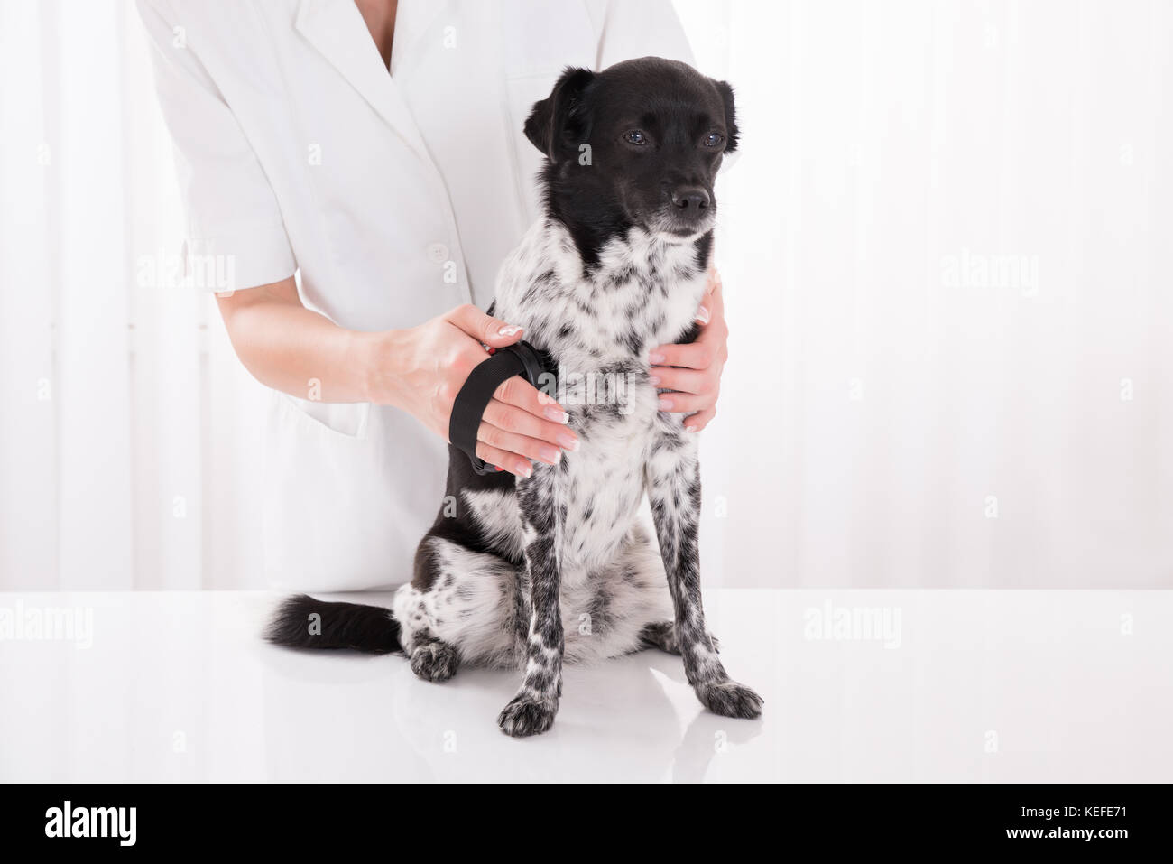 Female Vet Brushing Dog's Hair In Clinic - Stock Image