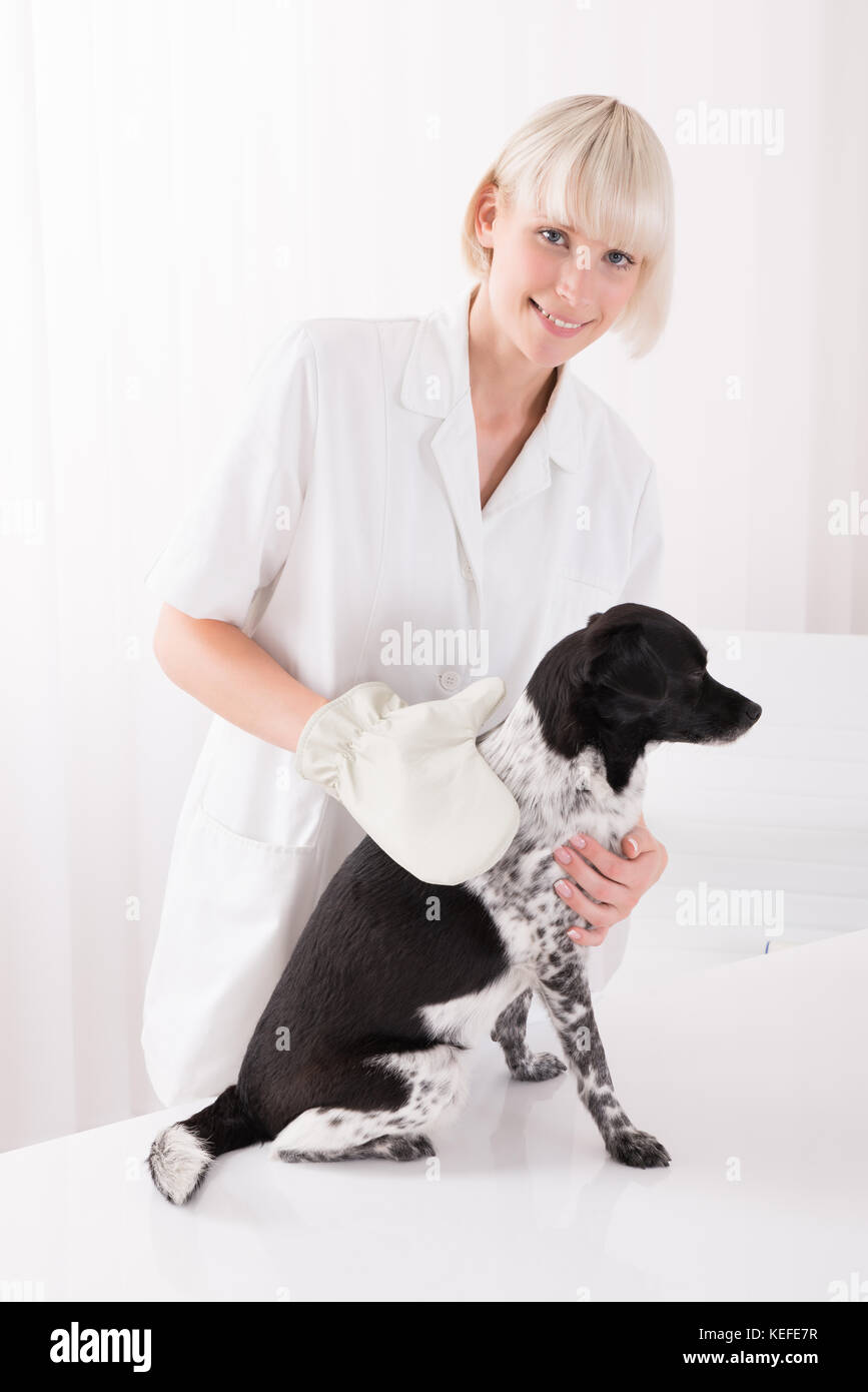 Happy Young Female Veterinary Examining Dog In Clinic - Stock Image
